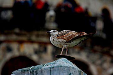 bird gull seagull galata istanbul